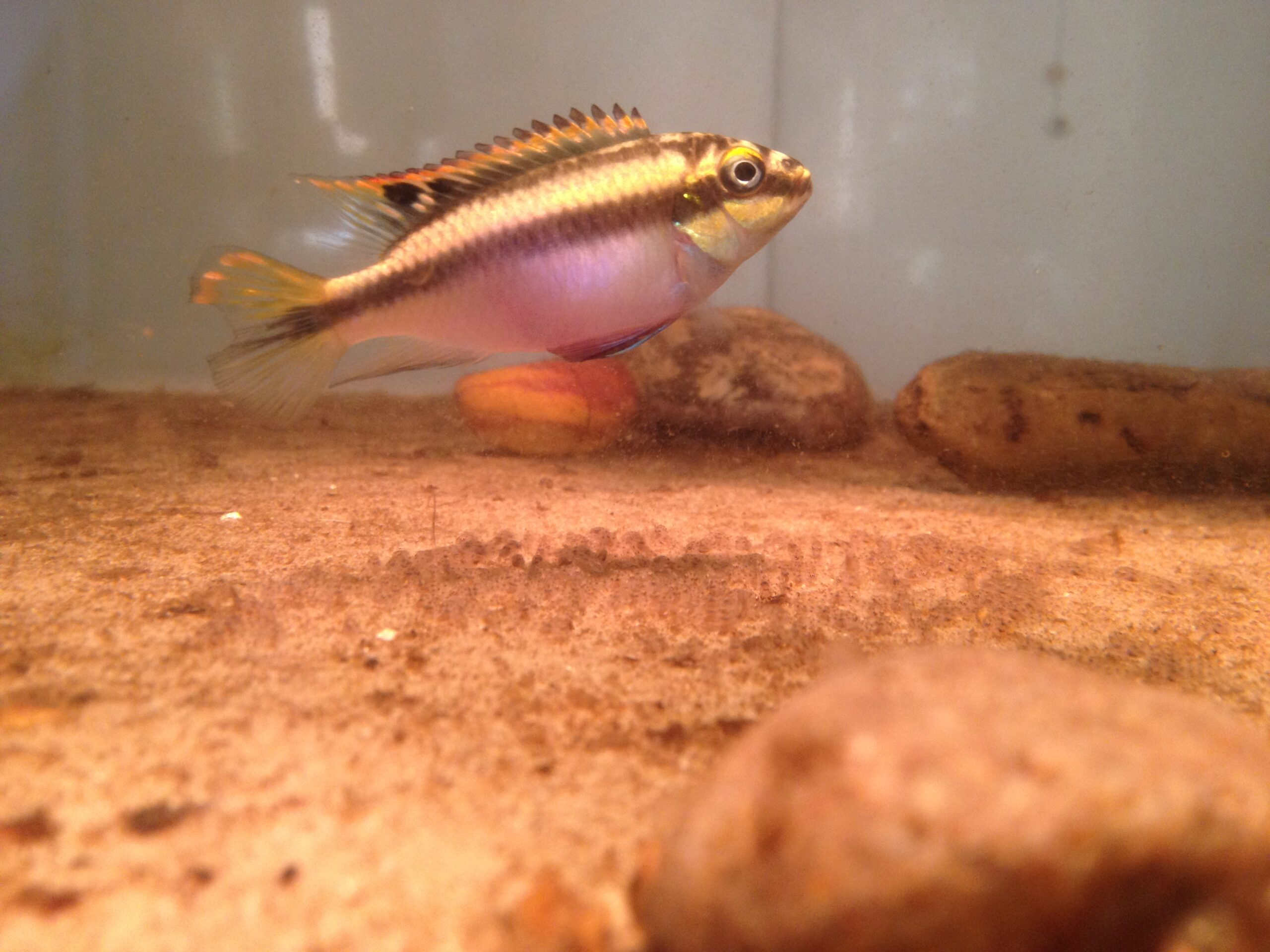 Daily Question – Making hybrids in our tanks