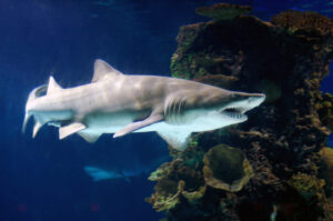 Read more about the article Sand Tiger Shark Surgery
